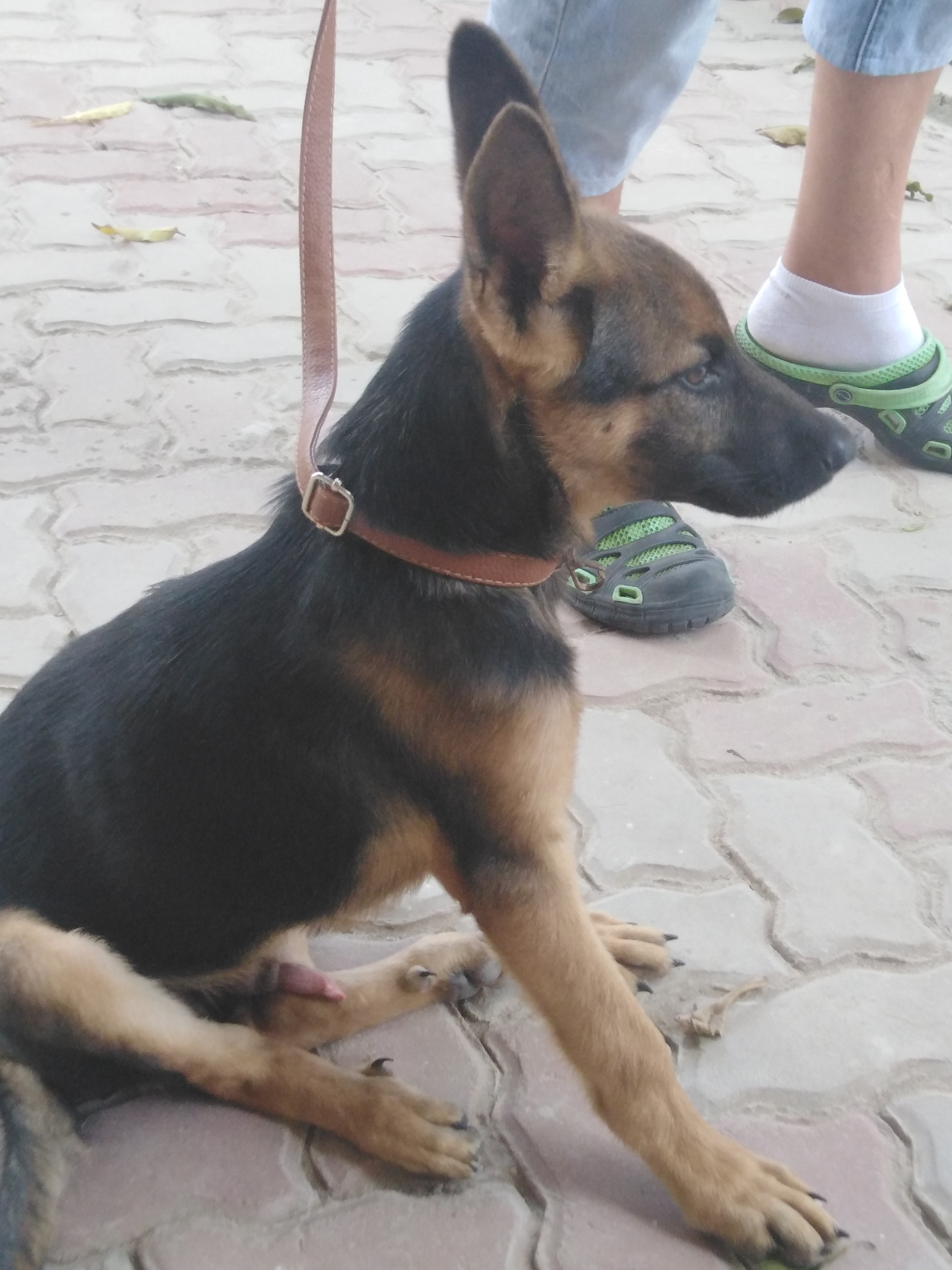 Pure German Shepherd
