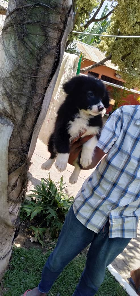 Dogs for sale Arusha